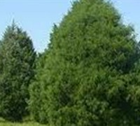 Eastern Red Cedar Picture