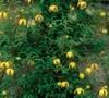 Golden Tiara Clematis