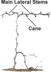 Pruning A Muscadine Vine