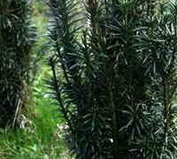 Japanese Plum Yew Picture