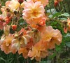Westerland Apricot Climbing Rose