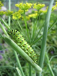 Butterfly Larvae On Fennel