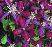Clematis 'Sweet Summer Love' Picture