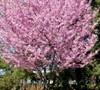 Okame Flowering Cherry