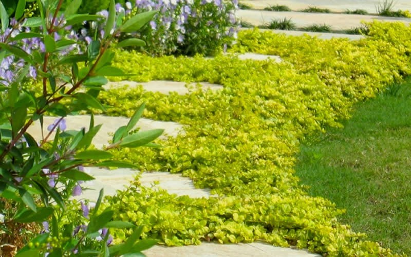Creeping Jenny Picture
