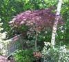 Garnet Japanese maple