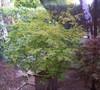 Omure Yama Japanese Maple