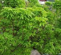 Shishigashira Japanese Maple Picture