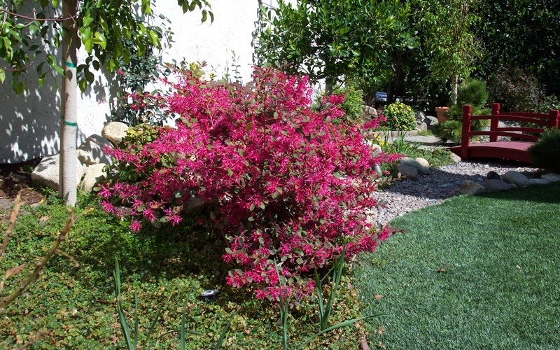 Loropetalum Plum Delight