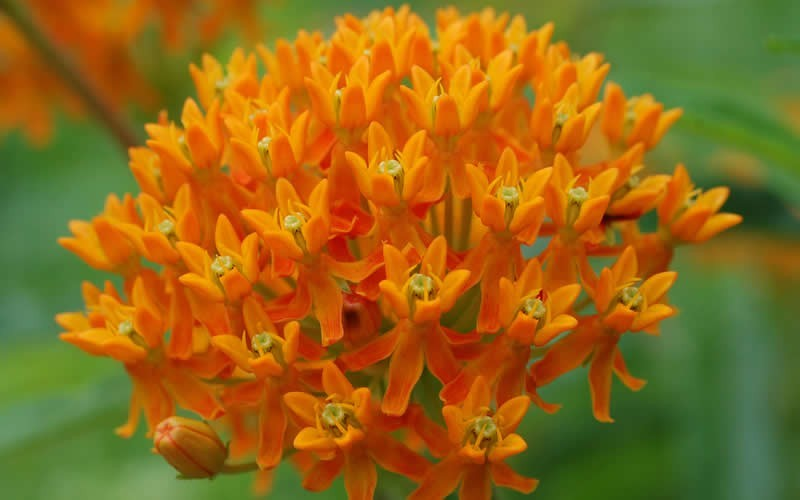 Butterfly Milkweed Picture