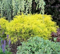 Dwarf Golden Threadleaf Cypress Picture