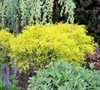 Dwarf Golden Threadleaf Cypress