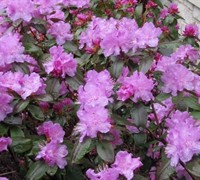 P J M Rhododendron Picture