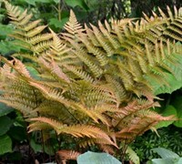 Autumn Fern Picture