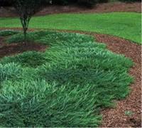 Creeping Juniper Groundcover Plants