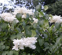 Ivory Silk Lilac Picture