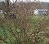 Lynwood Forsythia  -  Forsythia x intermedia
