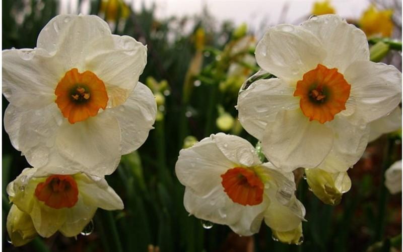 Geranium Daffodil