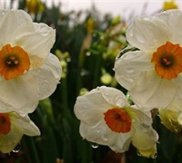 Tazetta Narcissus  Picture