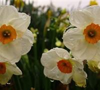 Tazetta Narcissus  Picture