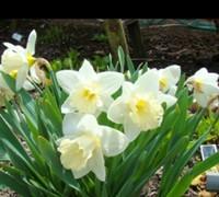 Mt. Hood Daffodil Picture