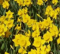 Dutch Master Daffodil Picture