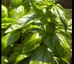 Picture of Sweet Basil