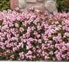 Snow Pink Indian Hawthorne