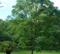 Kentucky Coffee Tree Picture