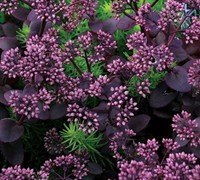 Cherry Tart Sedum Picture