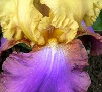 Bearded Iris Picture