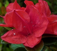 Autumn Ruby Encore Azalea Picture