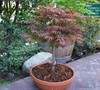 Red Japanese Maple-Atropurpurem