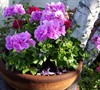Ivy Geranium (Group)