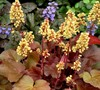 Little Cutie Blondie Heuchera
