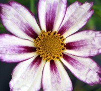 Cosmic Evolution Coreopsis Picture