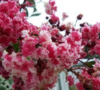 Peppermint Lace Crape Myrtle Picture