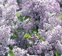 Persian Lilac Picture