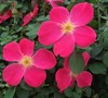 Pink Homerun Rose
