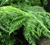 Australian Tree Fern