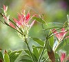 Flaming Silver Pieris