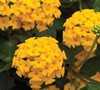 Bandana Trailing Gold Lantana