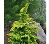 Gold Tip Fernspray Cypress