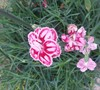 Starburst Dianthus Hybrid