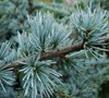 Serpentine Blue Atlas Cedar