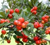 Eastern Mayhaw