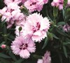 Everlast Dianthus
