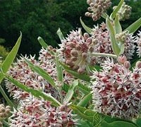 Asclepias Speciosa Picture