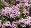 Early Bird Lavender Crape Myrtle