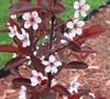 Purple Leaf Sand Cherry